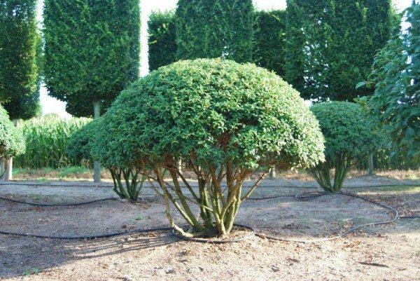 Solitaire heesters tuinontwerp met volwassen solitaire for Mooie tuinen kijken