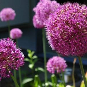 Alliums in prairieborders