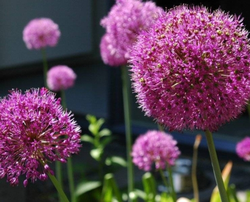 Alliums in prairieborders