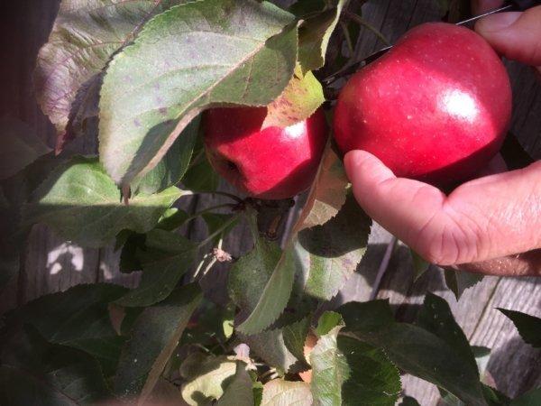 Boom voor kleine tuin