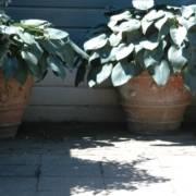 planten voor een Engelse tuin