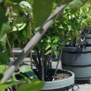 cottage tuin met citroenbomen