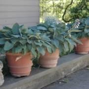 terracotta potten voor Engelse tuin