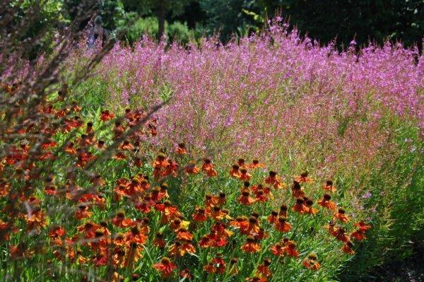 Prairieplanten voor tuinontwerp